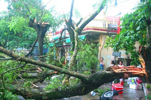 3 cây phượng cổ khác tuổi cũng xấp xỉ trăm tuổi đổ gãy ở đường Nguyễn Huệ