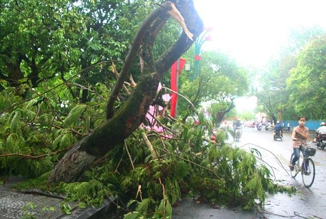 1 cây phượng già bị gãy trên đường Lê Lợi