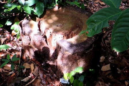 Một thân cây lớn mới bị đốn hạ không lâu