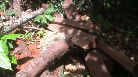 Những súc gỗ được cắt gọn gẽ chờ thời cơ thuận tiện là vận chuyển ra khỏi vùng lõi của VQG Bạch Mã