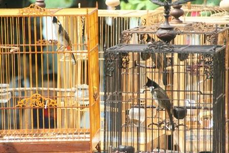 Nhiều chim quý giá hàng chục đến hàng triệu được chủ nhân nâng niu đem đi thi