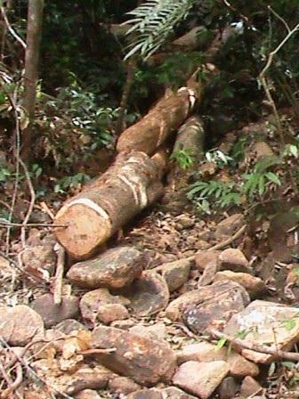 Ở hai bên con đường không biết của ai mở rộng này, nhiều cây cổ thụ đã bị chặt