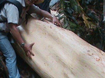 Một thân gỗ rất lớn vừa được bóc vỏ, vẫn còn nhựa rỉ ra rất mới