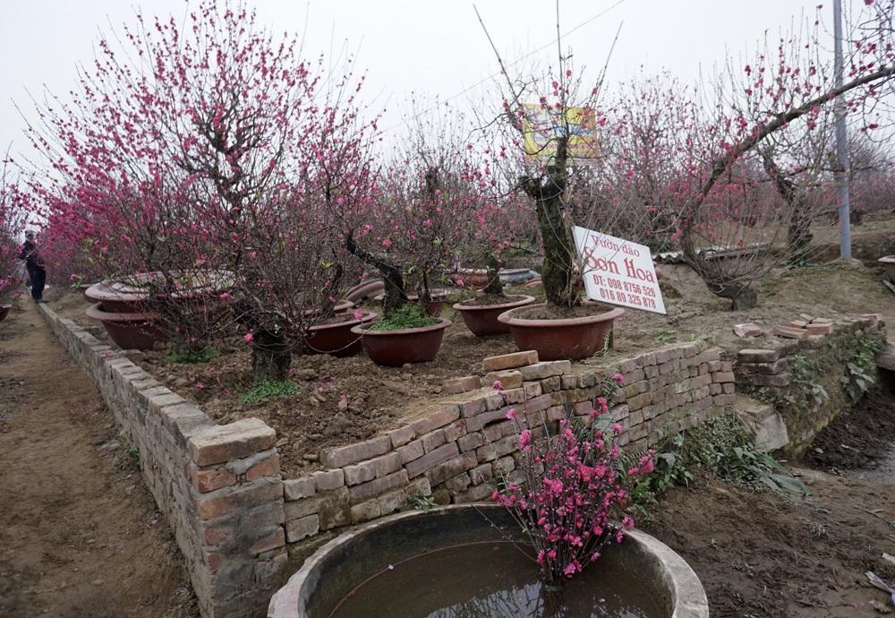 Các vườn đào đang nở rất đẹp, hiếm gặp những luống đào không hoa.
