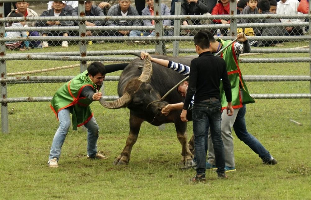Một đòn đánh khác khá phổ biến là khóa sừng để quật ngã đối thủ.