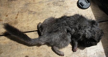 """Đi bẫy """"chuột tuyệt chủng 11 triệu năm"""" - 2"""