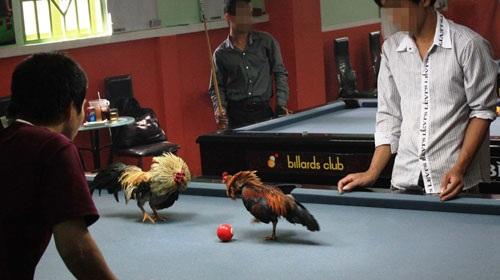 Đá gà trên bàn bida - 1