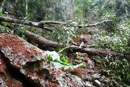Tàn phá rừng nghiến giữa Vườn Quốc gia Ba Bể