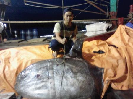 Ngư dân Quỳnh Lưu liên tục bắt được cá Mặt trăng