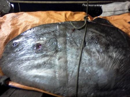 Con cá đã chết khi được đưa lên khỏi lưới
