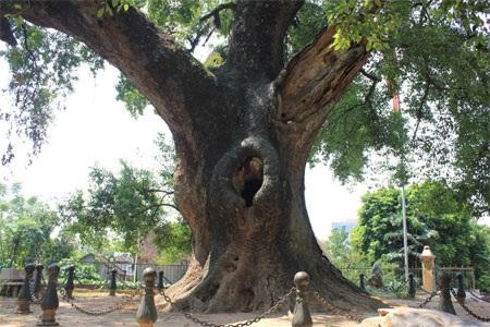 Cây dã hương ngàn năm tuổi