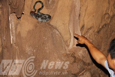 Loài trăn đá trong hang Hằng