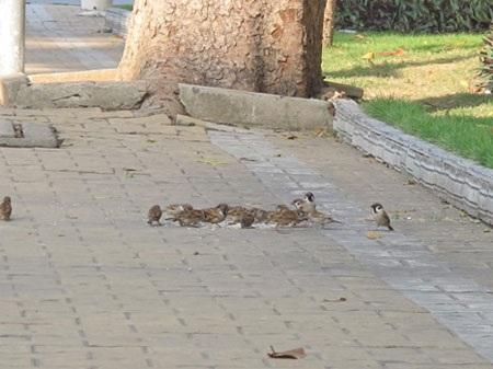 Ngày nào đàn chim cũng sà xuống xin cụ Sao cho ăn, ăn xong chúng vẫn nhảy nhót vui chơi gần chỗ cụ