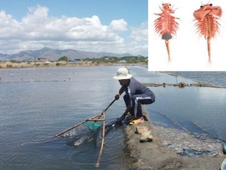 Thu hoạch Artemia ở Bình Thuận. Ảnh nhỏ: con Artemia. (Nguồn: Tiền phong)