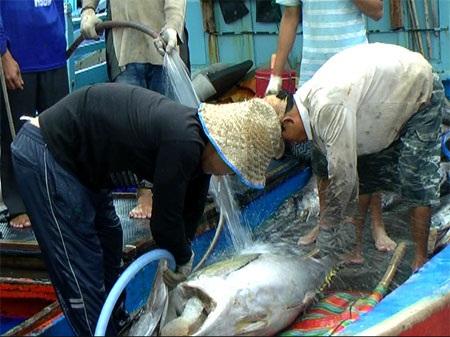 Ngư dân phấn khởi với sản lượng cá ngừ đại dương