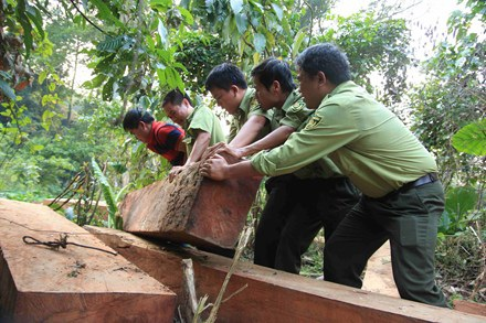 Lực lượng chức năng tịch thu và vận chuyển số gỗ khai thác trái phép.