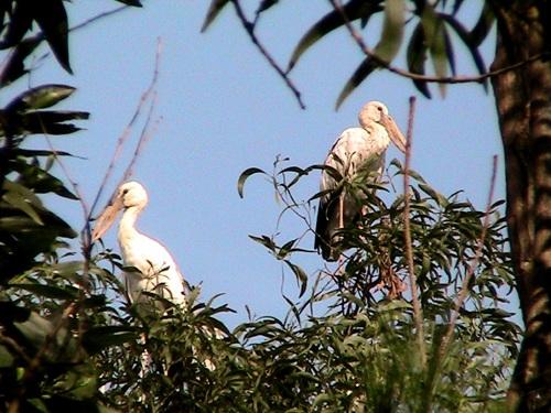 Đàn chim lớn về trú ngụ ở Hải Dương (Ảnh: Báo Tin tức)