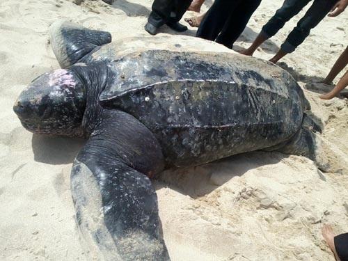 Cứu hộ rùa cực kỳ quý hiếm bị thương khi lên bờ đẻ trứng