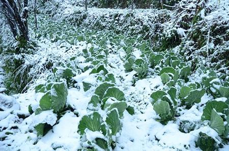 80ha rau màu bị vùi lấp trong tuyết tại xã Ý Tý.