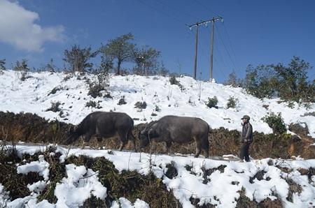 Chăn thả gia súc giữa vùng tuyết trắng, nhiệt độ 0 độ C