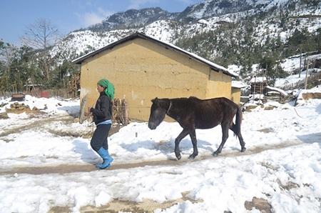 Người Hà Nhì đưa ngựa đi chống rét