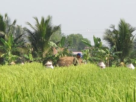 Những người làm thuê hàng ngày vẫn tiếp tục kéo dây cho lúa thụ phấn.