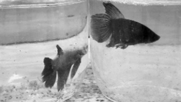 Thú chơi cá chọi dần dần bị chìm vào quên lãng