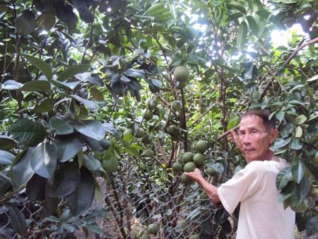 Ông Bảy Ghi bên vườn cam xoàn sum suê trái.