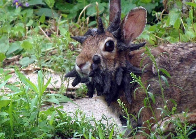 Chú thỏ tội nghiệp với khoảng 20 cái sừng trên đầu