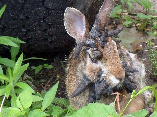 Những cái sừng trên đầu chú thỏ chính là các khối u