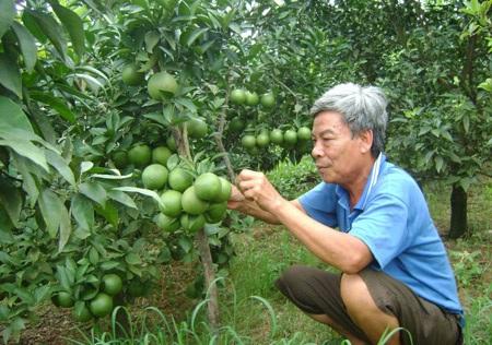 Ông Nguyễn Hồng Lâm (khu 8, thị trấn Cao Phong) thu 1 tỷ đồng/năm từ cam.