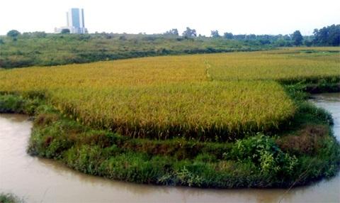 Cánh đồng lúa nằm giữa trung tâm khu công nghệ cao Hòa Lạc, cách đó khoảng chừng 300m