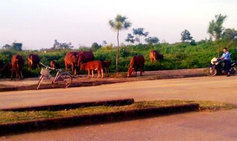 Trâu bò gặm cỏ trên các khu đất dự án bỏ hoang.