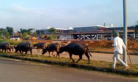 Trâu bò thong thả trên đường, trước cổng khu chế xuất phần mềm FPT