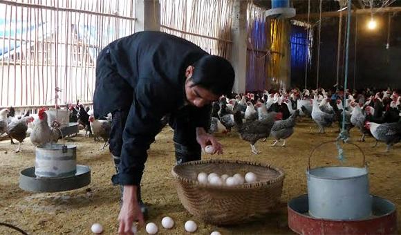Hết sốt giá đến khủng hoảng thừa trứng gà