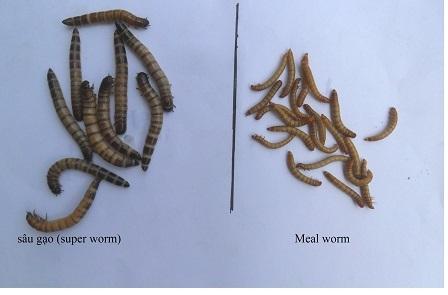 Phân biệt sâu gạo bị cấm với các loại sâu bầy bán trên thị trường.