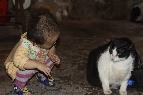 Nam Định: Mèo nặng nhất thế giới, trả 120 triệu không bán - 1