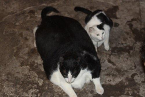 Đôi bạn thân, mèo khủng với mèo nhỏ nặng... 4kg