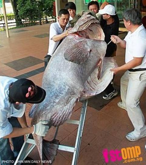 Con cá mú nặng 270kg