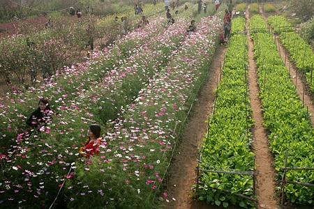 Ngỡ ngàng vườn hoa nhỏ bên luống đào Nhật Tân  - 2