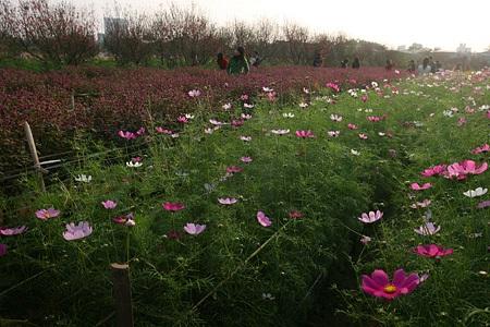 Ngỡ ngàng vườn hoa nhỏ bên luống đào Nhật Tân  - 3
