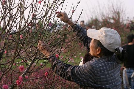Ngỡ ngàng vườn hoa nhỏ bên luống đào Nhật Tân  - 9