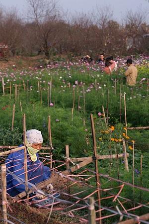 Ngỡ ngàng vườn hoa nhỏ bên luống đào Nhật Tân  - 10