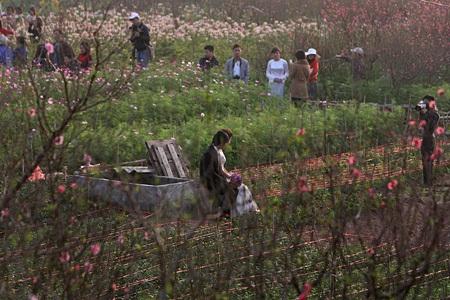 Ngỡ ngàng vườn hoa nhỏ bên luống đào Nhật Tân  - 17