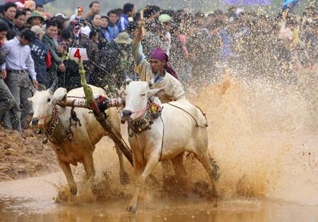 Người điều khiển tay cầm dây, tay cầm gậy nhọn thỉnh thoảng lại chích vào mông bò để tăng tốc.