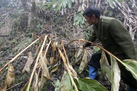 Hầu A Sáng vẫn còn tiếc rẻ công sức bên căn lán trong rừng già, nơi dùng để sấy khô quả thảo quả.