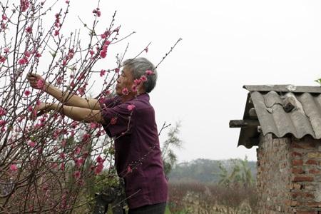 Vẫn còn rất nhiều cây đào đẹp tại vườn Nhật Tân để người chơi lựa chọn.