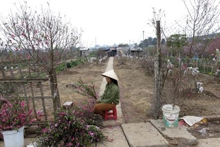Những bó đào dăm rất nhiều và được người dùng ưa thích để trên ban thờ.