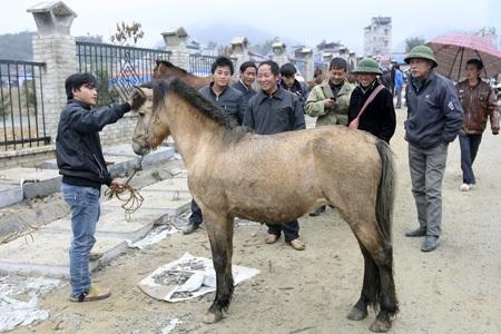 Giá trung bình một con ngựa thồ dao động từ 15 - 25 triệu.