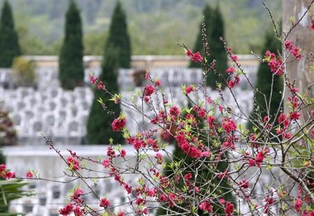 Hoa đào nở dưới chân cột cờ Lũng Cú đua sắc cùng lá cờ tổ quốc có diện tích lên đến 54 m2.